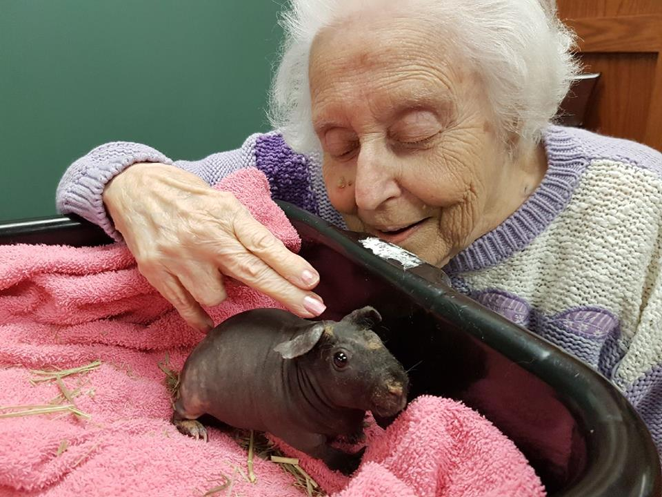 Petunia the Skinny Pig at Wentworth Heights