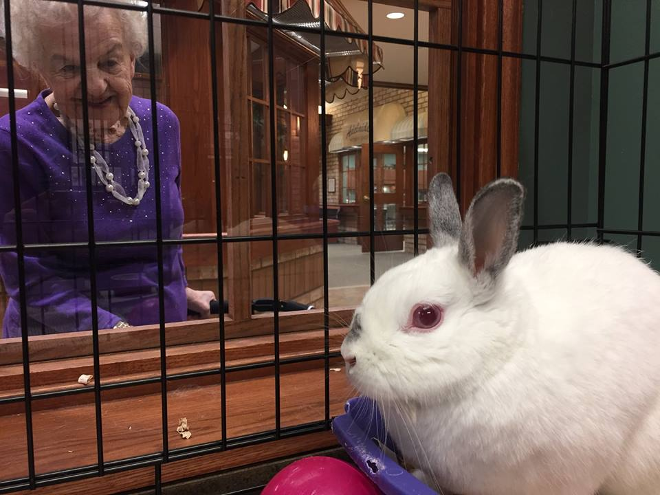 Maggie the California Lop - Rabbit at Wentworth Heights
